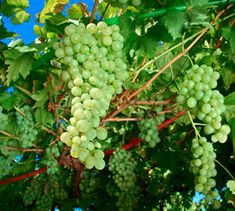 Niagara Bunch Grape Vine