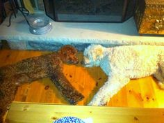 Daisy Doodle and her cousin Rueben. Doggie love--and they made a heart!