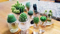 cactus hydroponics 乾燥を好む植物のサボテンって、ゴロゴロとした乾いた土で育てるイメージですよね?でも、ちょっと下準備をすると、水耕栽培できるんですって!水耕栽培なら、もともと水やりの頻度の低いサボテンを、もっと手軽に育てることができますよね。水耕栽培ならではのどこか神秘的なインテリアとしても大活躍の予感!