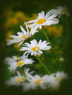 Shasta Daisies Leucanthemum superbum by Nate A, via 500px