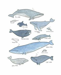 Whale species illustrations