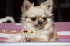Chihuahuas Love - Información Perdida de Este Blog. Recuperación de Post Chihuahuas Love.