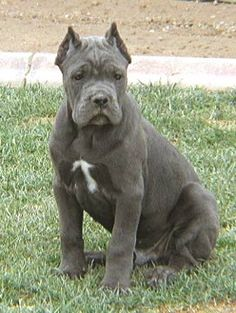 Cane Corso (Italian Mastiff), Puppy with Cropped Ears
