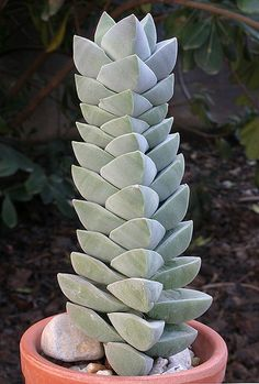 Crassula 'Moonglow'
