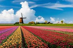 Tulip fields in Holland :D LOVE THESE! Need to go again <3