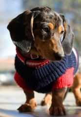 Free Online Dog Patterns Even Harley Davidson Dog Clothes!--I actually pinned this because of the cute doggy! Dachshund Sweater, Dachshund Love, Dog Sweaters, Daschund, Dog Clothes Patterns, Sweater Patterns, Coat Patterns, Weenie Dogs, Doggies