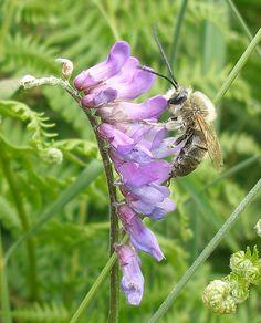 Long-horned bee, South Devon by Philip Strange https://philipstrange.wordpress.com/2015/07/07/looking-for-the-long-horned-bee-in-south-devon