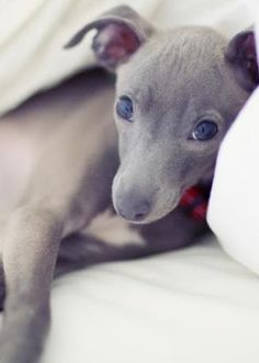 Do I have to get up now? #Italian #Greyhound Puppy