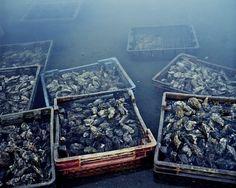 Les huîtres bataillent contre l'industrialisation