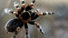 Tarantula Tarantulas #tarantula #tarantulas