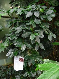 Coffee Plant Care – Growing Coffee Plants Indoors Did you know that the same plant that grows coffee Indoor Garden, Garden Plants, Indoor Plants, Outdoor Gardens, Fresh Coffee Beans, Bean Plant, Small Greenhouse, Greenhouse Ideas, Porch Greenhouse