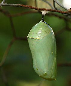 File:Monarch Butterfly Danaus plexippus Chrysalis 2000px.jpg