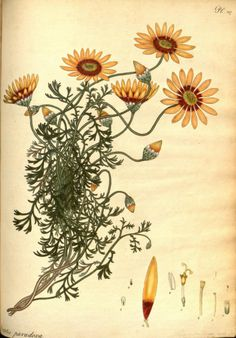 Chamomile-leaved Arctotis (Arctotis Paradoxa). Plate from 'The Botanist's Repository' by Henry Andrews. Published 1797 by The author in London Biodiversity Heritage Library. archive.org