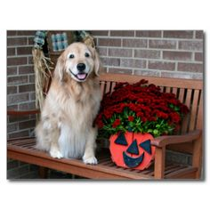 Golden Retriever With Pumpkin Planter Postcard by #AugieDoggyStore. Sold to a customer in Palm Coast, FL