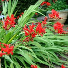 Crocosmia ' Lucifer' brings a reliable show of hot red summer blossom born of distinctive long arching flower spikes.
