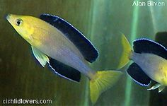 This is an extremely handsome and peaceful Tanganyikan cichlids! Freshwater Aquarium Plants, Tropical Freshwater Fish, Tropical Fish Aquarium, Lac Tanganyika, Tang Fish, Aquarium Design, African Cichlids, Beautiful Fish, Exotic Fish