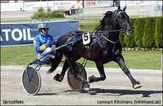 The great Swedish coldblood trotter Jarvsofaks recently won his 184th race, passing the record established in the 1990s by the legendary Norwegian coldblood Alm Svarten.