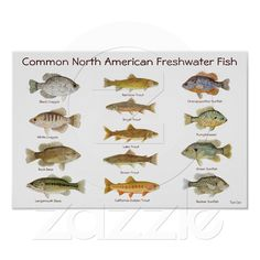 Freshwater Fish Poster from Zazzle.com
