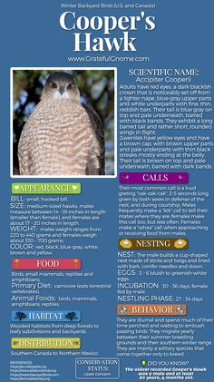The Cooper's Hawk, a medium-sized hawk is a powerful raptor often seen in yards and suburban areas. All Birds, Birds Of Prey, Love Birds, Beautiful Birds, Bird Facts, Cooper's Hawk, Bird Types, Crazy Bird, Backyard Birds