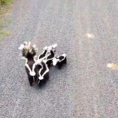 Cute Skunk Family On Evening Walk 😁 - funny - Animals Funny Animal Videos, Cute Funny Animals, Funny Animal Pictures, Cute Baby Animals, Animals And Pets, Cute Creatures, Beautiful Creatures, Animals Beautiful, Gato Animal