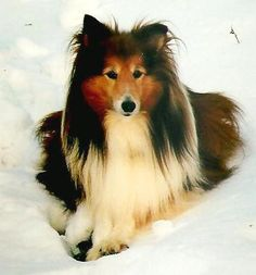 Isn't she lovely?? Lil Lady the Shetland Sheepdog l Photo Gallery l The Daily Puppy