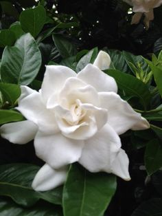 Looking for a whiff of something wonderful? The Gardenia jasminoides blooming in our Haupt Garden smells awesome!