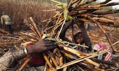 Sugar cane-cutters in Siribala, Mali. Photograph: Joe Penney/Reuters.   Oxfam reveals global food firms' gaping ethical shortfalls  The charity finds Nestlé, Mars and Coca-Cola fail to protect farmers, local communities and the environment @Save the Children