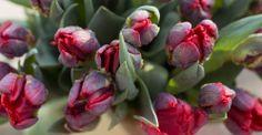 Kalenderwoche 11 kurzstielig: rote Papageientulpen Tulipa exotisch bunt für Ihre Tischvase