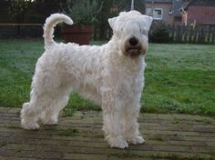 Irish Soft Coated Wheaten Terrier Wheaten Volunteer´s Zwingerstory