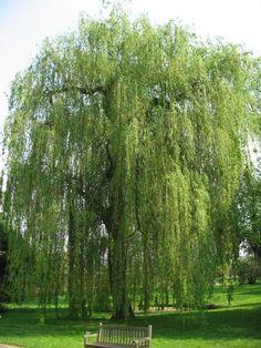 Afbeelding van Treurwilg Salix sepulcralis 'Tristis'