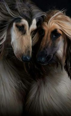 A lovely pair of Afghan Hounds