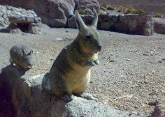 dog training - cute and Wuvely Large Rodents, Capybara, Chinchilla, Animals Beautiful, South America, Mammals, Dog Training, Kangaroo, Weird