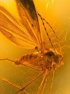 Baltic amber (40-50 MYO) - Biting midge (Ceratopogonidae) by leth.damgaard