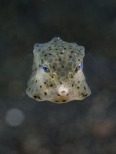 Kiss me! by Christian Gloor on Underwater Creatures, Underwater World, Saltwater Fishing, Fly Fishing, Cow Fish, Ocean Sleeve, Funny Animals, Cute Animals, Freshwater Aquarium Fish