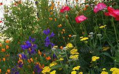 cottage garden plants yarrow