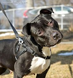 American Pit Bull Terrier/Labrador Retriever Mix Dog for adoption in Worcester, Massachusetts - Haley