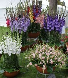 How To Care For Gladiolus Bulbs In Pots