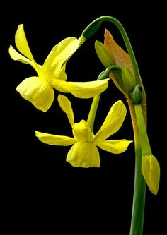 Daffodil (narcissus hawera) | Flickr - Berbagi Foto!