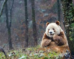 Poderia ser uma Fábula de Esopo, mas é uma história real: as cores diferentes do urso panda Qizai não foram muito bem aceitas por outros membros de sua espécie. Sua mãe o abandonou na reserva natural em que ele nasceu e os ursos pretos e brancos costumavam roubar sua comida quando ele era mais novo. Mas hoje ele vive bem mais tranquilo.   ...