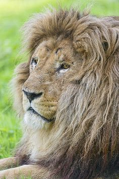 Relaxed lion profile