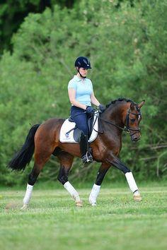 German Riding Pony stallion Haddaway