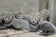 Zoo Asking Visitors to Name Cheetah Quintuplets - WSJ
