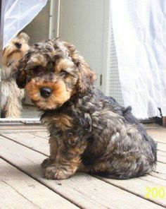 Yorkipoo, MyOodle, My Oodle, Oodle, Doodle, Dog, Poodle, Poodle Mix, Poodle Hybrid pinned by http://MyOodle.com Love Your Dogs?? Visit our website now! :)