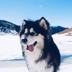 7 Things To Know Before Getting An Alaskan Malamute Alaskan Malamute Puppies, Malamute Dog, Alaskan Husky, Siberian Husky Dog, Husky Puppy, Husky Photos, Pet Photos, Australian Shepherd Dogs, Alaskan Shepherd