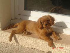 Cavalier King Charles chiot 💕💕 Douce me manque !