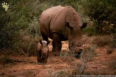 Mother and child. A glint of hope for the future of this threatened species Tess Williams . Hope For The Future, Rhinoceros, African Animals, Mother And Child, Wildlife Photography, Safari, Elephant, Earth, Children