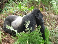 Silver back gorilla at bwindi impenetrable national park Uganda east africa