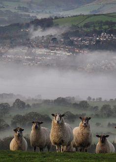Staring Sheeps Photos