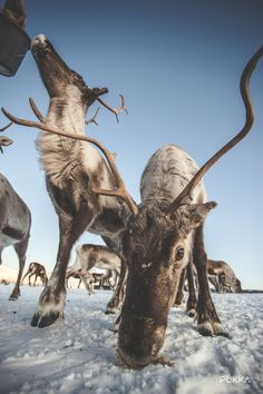 A traditional Sami experience with reindeer sledding in Tromsø. You will learn about the culture, enjoy lunch in a lavo, and feed the heard of deer. Reindeer And Sleigh, Pukka, Tromso, Cultural Experience, Lofoten, A Perfect Day, Catamaran, Sled, Plan Your Trip