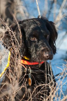 Scout, a Boykin spaniel from Aiken, South Carolina. What a beauty.